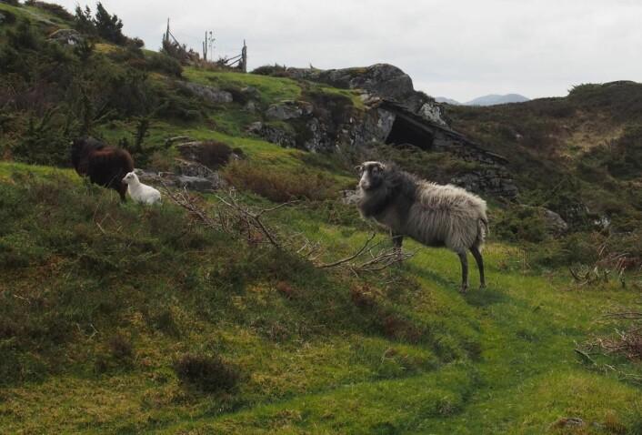 Villsauene lever ute hele året og ullen deres har vært et sentralt fokus i KRUS prosjektet. De mistet tilskuddet sitt fordi ullen ble ansett for 'avfall'. Nå er den å finne i genseren Vegard fra Ulvang i et eksklusivt opplag. Fordi fargene på sauene varierer, vil også fargene på genserne være forskjellige.