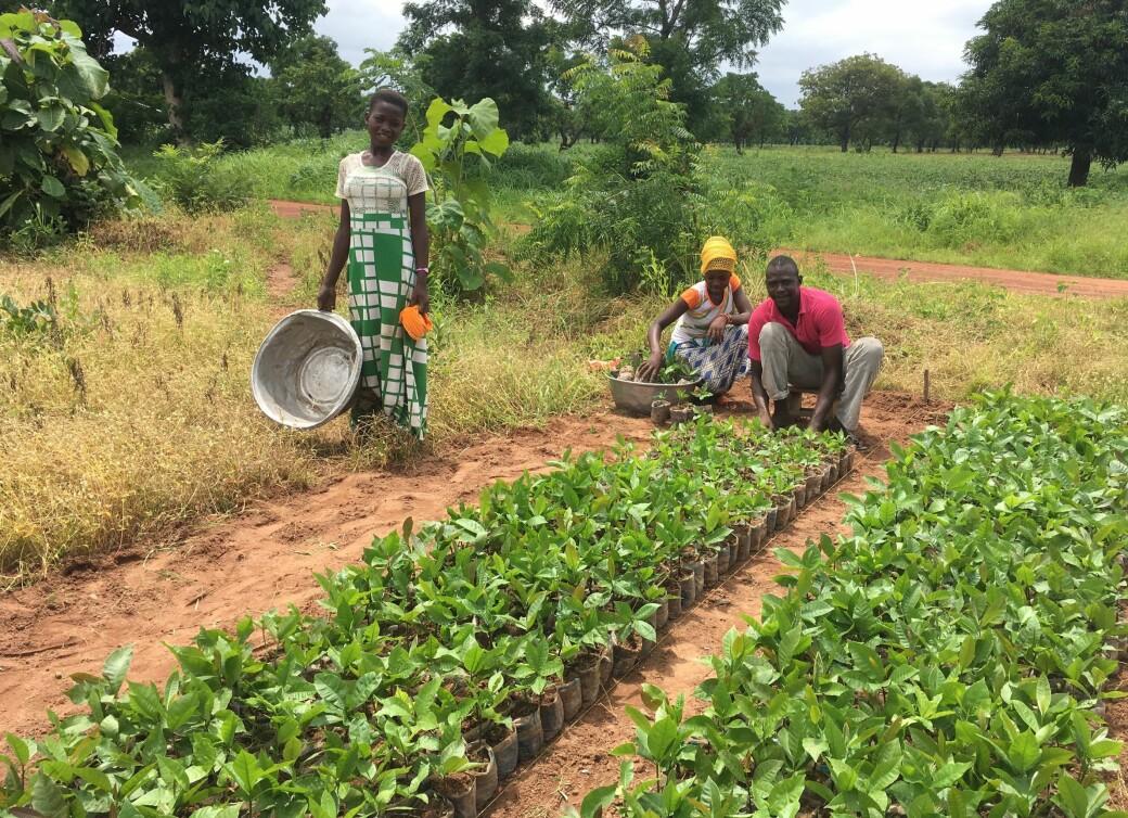 Klart for utplanting i Ghana